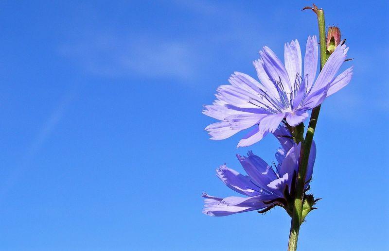 Achicoria Características, cultivo, cuidados, propiedades medicinales