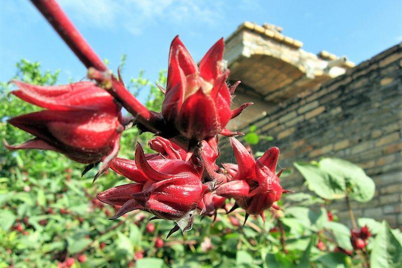 Flor De Jamaica Caracteristicas Tipos Cultivo Usos Habitat