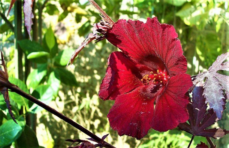 Flor De Jamaica Características Tipos Cultivo Usos Hábitat Arbusto