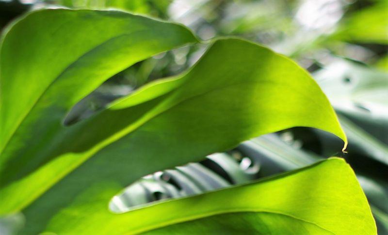 Monstera Características, hábitat, origen, reproducción, usos Planta