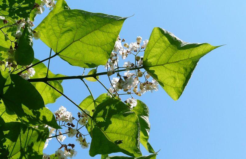Catalpa bignonioides Características, hábitat, reproducción, usos Planta