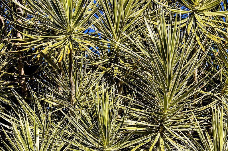 Drácena marginata Características, uso decorativo, cuidado, hojas Árbol