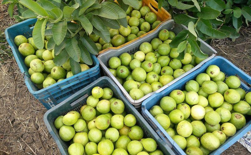 Guayabo Características, hábitat, usos, propiedades, cultivo Árbol, planta