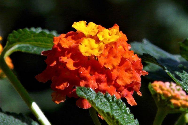 Lantana camara Características, cultivo, cuidados, variedades Planta