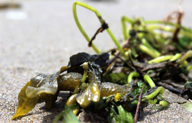 Algas marinas Características, tipos, hábitat, propiedades, clasificación