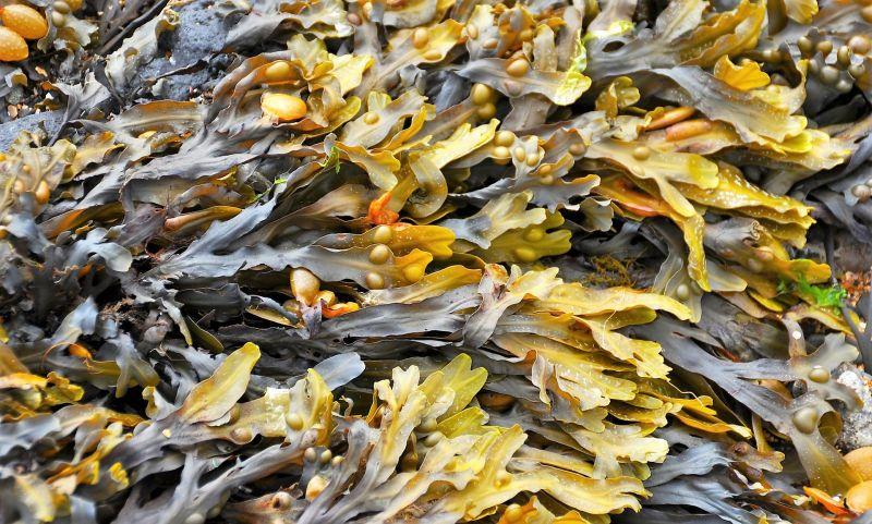Las algas marinas