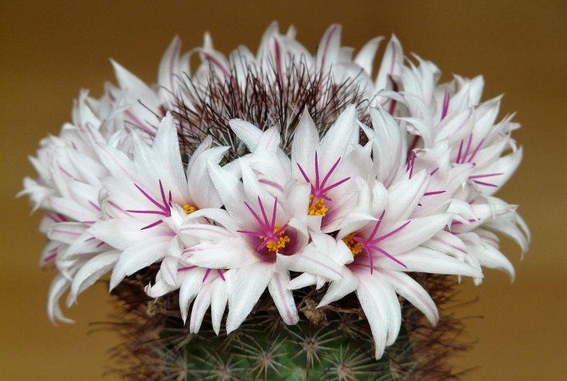 Mammillaria Características, cultivo, reproducción, cuidados, beneficios