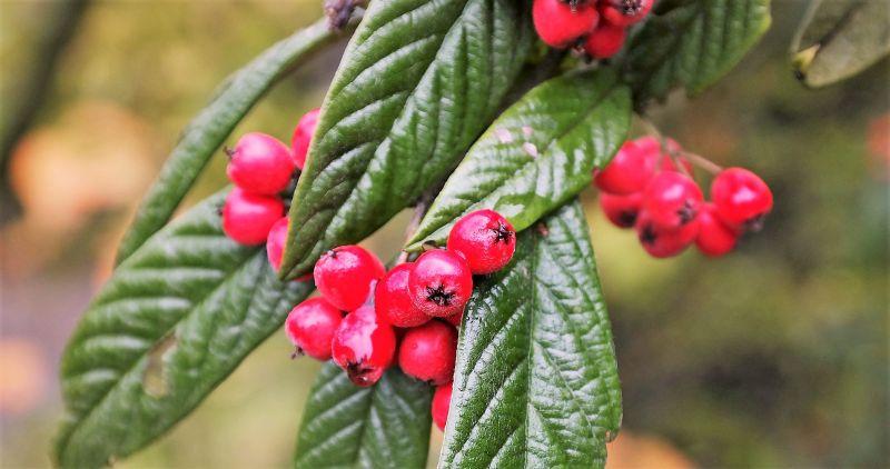 Cotoneaster Características, cultivo, cuidados, uso decorativo Planta