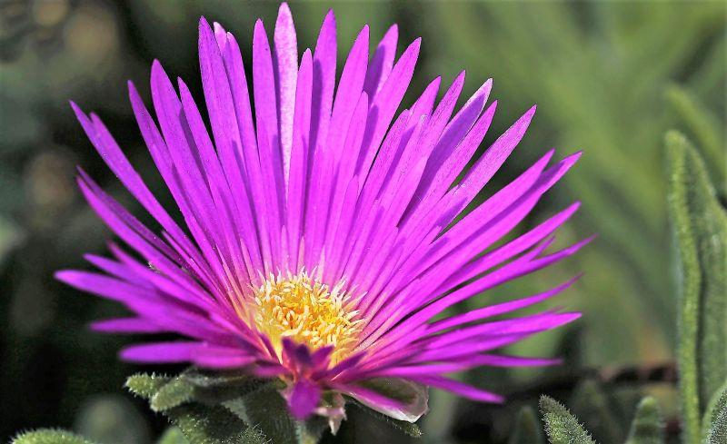 Delosperma Qué son, características, cultivo, usos, información Plantas