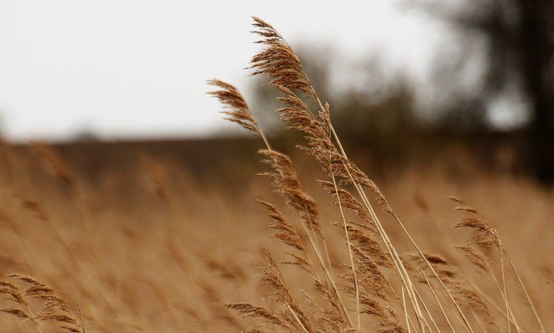 Gramíneas Qué son, características, proceso fenológico, importancia Plantas