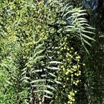 Árbol de pirul