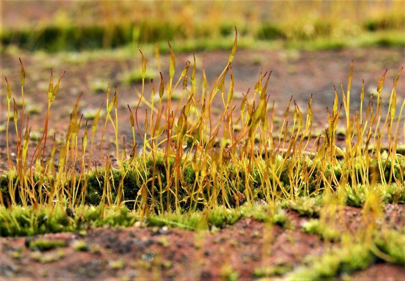 Esporófito